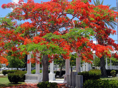 Poinciana