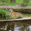 Prague Sumatran Tiger