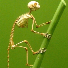 Primate Skeleton - Museum Of Natural History