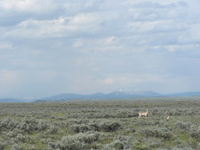Pronghorn In Jackson Hole