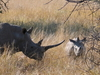 A Pair Of White Rhinoceroses In Pilanesberg