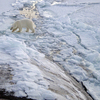 Polar Bears Near North Pole