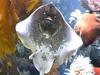 Ray Fish At Long Beach Aquarium Of The Pacific