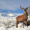 Red Deer At Rannoch Moor