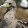 Red Footed Booby Brown Morph