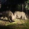 Rhinoceros In Savanna Safari Zone