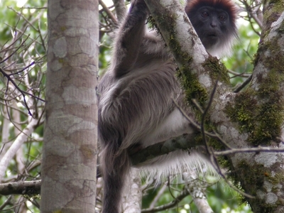 The Ugandan Red Colobus