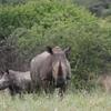 Rhino Selous
