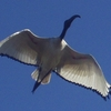 Sacred Ibis Flying Above Rondevlei