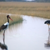 Saddle Billed Storks
