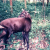Saola, A Species Found In Phong Nha-Kẻ Bàng National Park