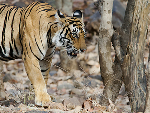 Splendiferous Sariska Wildlife Safari - 1 Day Photos