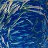 Schools Of Fish - New Caledonia