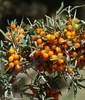 Seabuckthorn Berries Nubra Valley