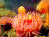 Seattle Aquarium: Sea Anemones