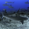 Sharks At Roatan Bay Islands Honduras