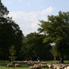 Sheep In The  Hirschau