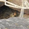 Short Eared Rock Wallaby