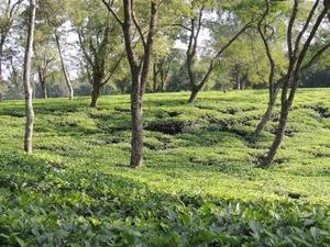 Silchar Tea Garden