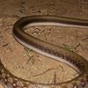 Snake Of Karlapat 5