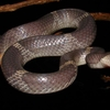 Snake Of Karlapat 6