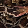 Snake Of Karlapat