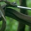 Romancing Cobras At Tadoba Tiger Reserve