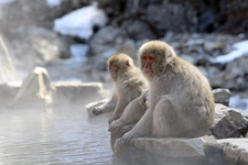 Snow Monkey Mother & Child