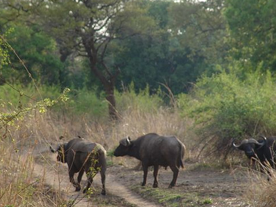 Buffalo In South Luangwa