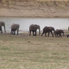 Elephant Herd In The Park