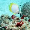 Spotfin Butterflyfish At Utila