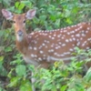 Spotted Deer Ambapani
