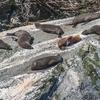 Sunbathing Seals @ Milford Sound - Southland NZ