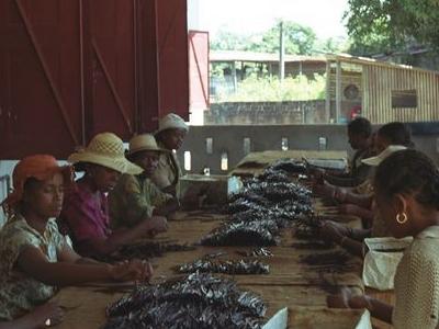 Sambava    Grading Vanilla Beans