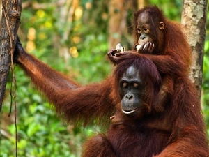 8D7N Great Orangutan and Dayak Kudangan Trip Photos