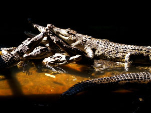 Teritip Crocodile Breeding Center