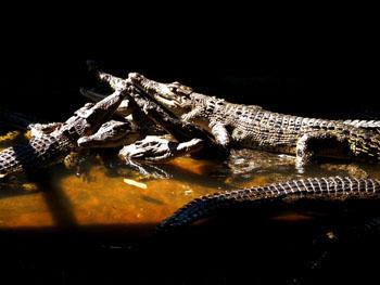 Teritip Crocodile Breeding Center
