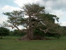 The 300-year-Old Ceiba Tree