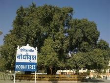 The Bodhi Tree At Deekshabhoomi