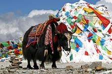Tibetan Yak - China