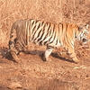 Tiger Whole Body View
