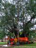 Ton Pho ( Banyan Tree )