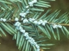 Eastern Hemlock Foliage And Cone