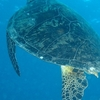 The Green Turtle Is Common In Watamu Marine Park