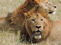 8 Days Tanzania Simba Safari