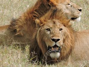 8 Days Tanzania Simba Safari Photos