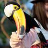 Toucan Being Feeded In Kobe Kachoen
