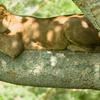 Lion In Ishasha Sector
