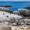 View African Penguins At Boulders Beach Near Cape Town SA