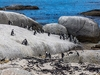 View African Penguins At Boulders Beach Near Cape Town SA